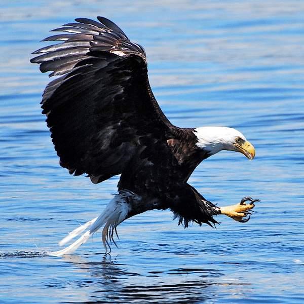 1bald-eagle-600