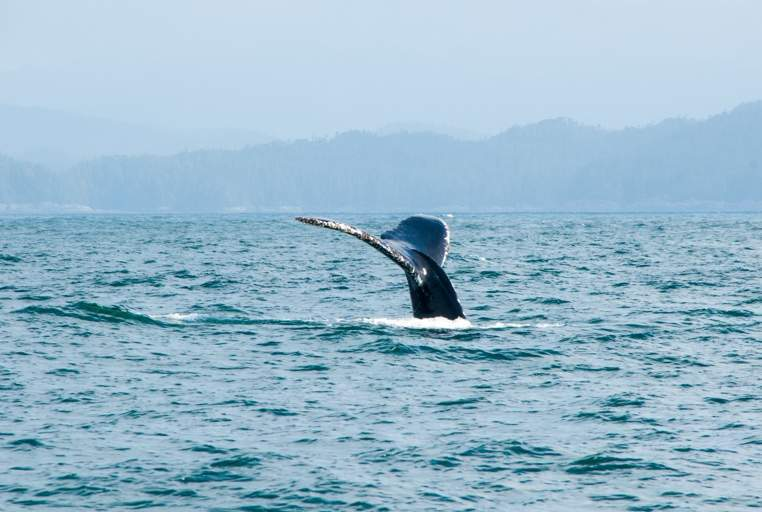 A humpback whale shows off its tail on a tour seen just last week.