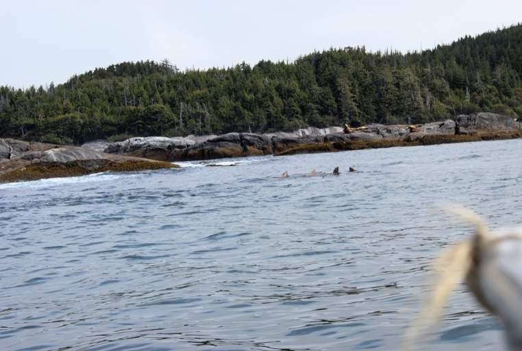 Guests see more than just whales on the rapids tour – some steller sea lions were out to play on a tour last week!