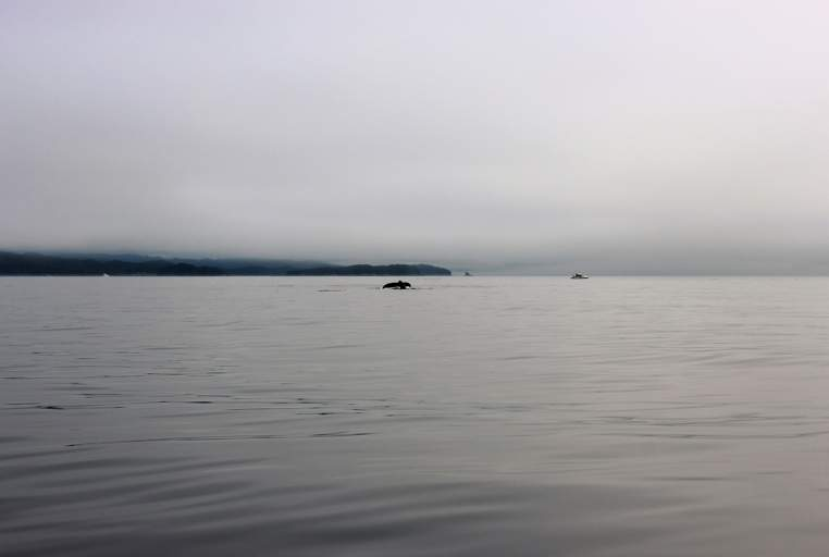 A whale doesn't let the fog stop it from swimming by guests of the k'awat'si Nakwakto Rapids Tour.